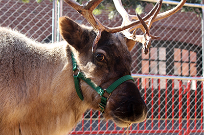Reindeer at Cheekwood