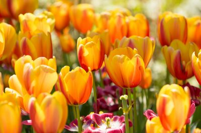 Tulips in Bloom at Cheekwood