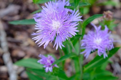 Stokesia 'Peachies Pick'